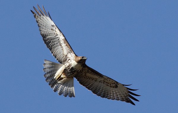 A red-tailed hawk (Buteo jamaicensis) in flight (2009_12_20_046514)