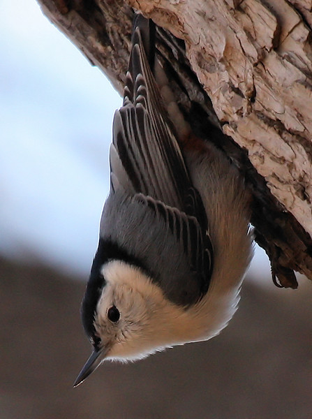 A white-breasted nuthatch (Sitta carolinensis) hanging upside-down on a tree (2009_12_26_047202)