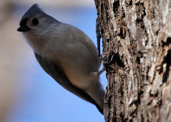 A tufted titmouse (Baeolophus bicolor) clinging to the side of a tree (2009_12_26_047342)