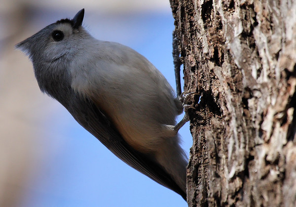 A tufted titmouse (Baeolophus bicolor) clinging to the side of a tree (2009_12_26_047344)