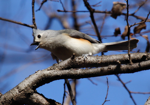 A tufted titmouse (Baeolophus bicolor) fussing from its perch (2009_12_26_047365)