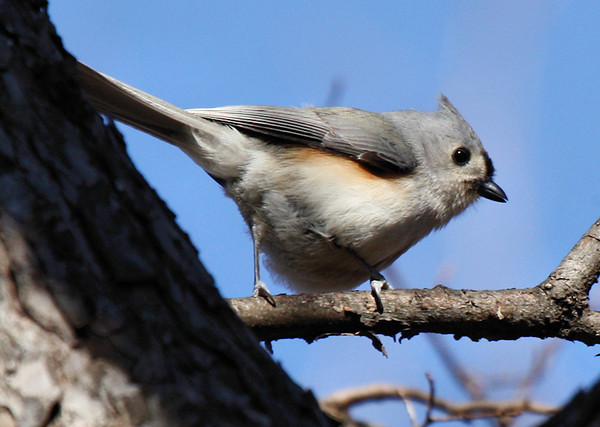 A tufted titmouse (Baeolophus bicolor) perched on a branch (2009_12_26_047369)