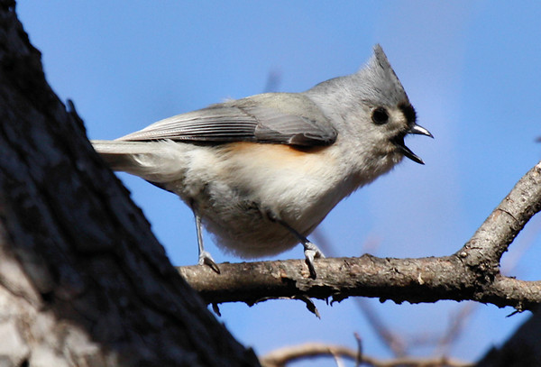 A tufted titmouse (Baeolophus bicolor) fussing from its perch (2009_12_26_047370)