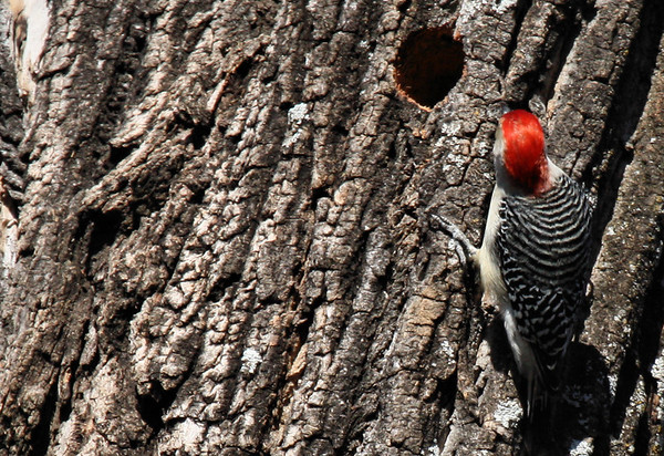 A male red-bellied woodpecker (Melanerpes carolinus) investigating another woodpecker's nest (2010_01_10_047705)