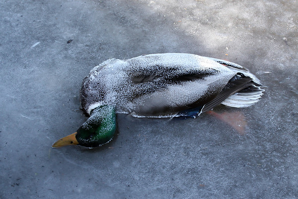 Male mallard duck (Anas platyrhynchos) frozen in ice (2010_01_10_047938)
