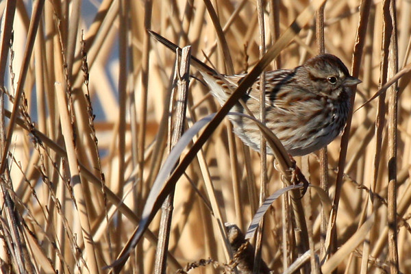 Song sparrow (Melospiza melodia) perched in winter reeds (2010_01_12_048009)