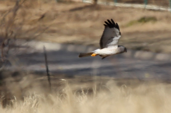A male northern harrier (Circus cyaneus) flying above the grass (2010_01_12_048321.JPG_c)