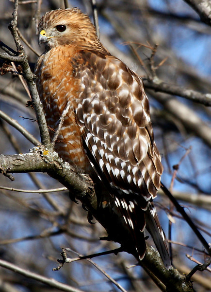 A red-shouldered hawk (Buteo lineatus) perched on a low branch (2010_01_12_048378)