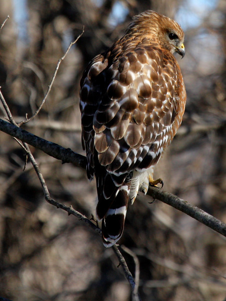 A female red-shouldered hawk (Buteo lineatus) perched on a limb (2010_01_12_048405)