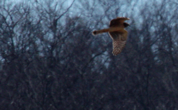 A female northern harrier (Circus cyaneus) flying in the distance (2010_01_12_048484_c)