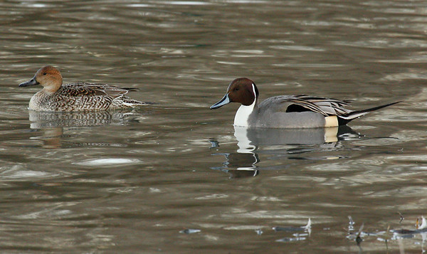 A mated pair of northern pintails (Anas acuta) swimming in the bay (2010_01_24_048844)