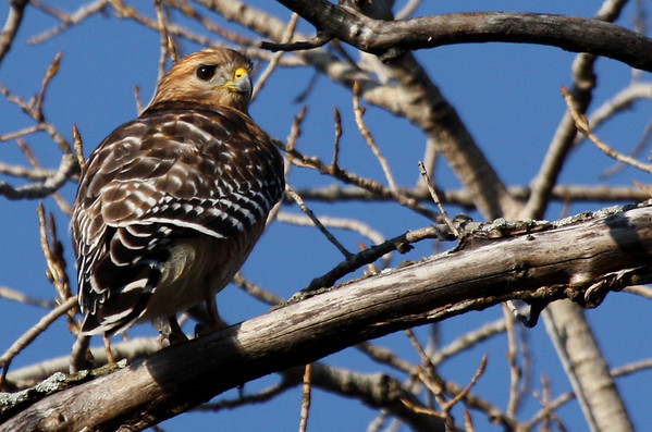 A red-shouldered hawk (Buteo lineatus) perched on a branch (2010_01_24_049066)