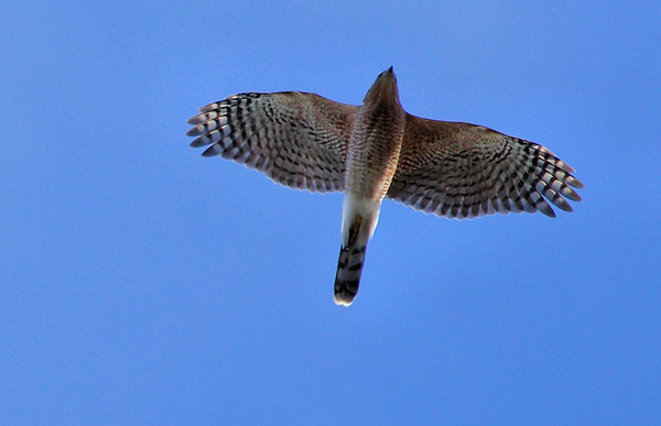A female Cooper's hawk (Accipiter cooperii) flying overhead (2010_01_24_049071)