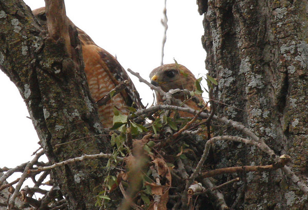 A mated pair of red-shouldered hawks (Buteo lineatus) at their new nest (2010_02_20_049858)