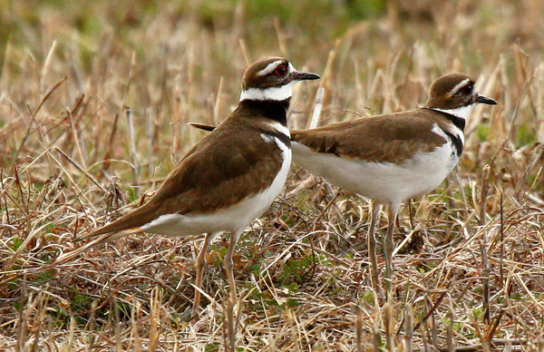 Two killdeer (Charadrius vociferus) standing in a meadow (2010_03_06_050633)
