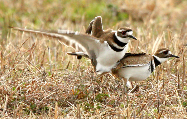 A male killdeer (Charadrius vociferus) dismounting a female after mating (2010_03_06_050672)
