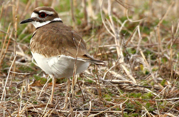 Male killdeer (Charadrius vociferus) standing in a meadow and watching me (2010_03_06_050674)
