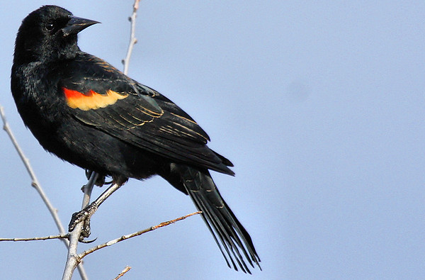 A male red-winged blackbird (Agelaius phoeniceus) perched on a thing branch (2010_03_06_050710)