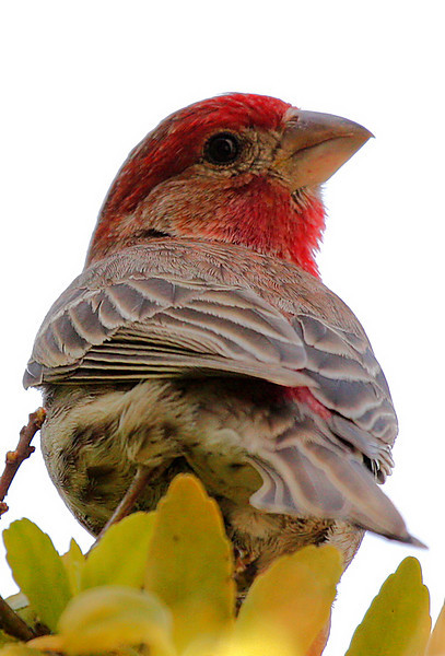 A male house finch (Carpodacus mexicanus) perched in a tree (2010_04_03_052372)