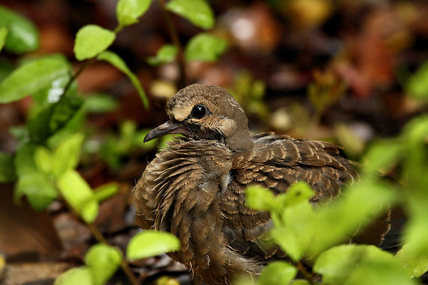A fledgling mourning dove (a.k.a. rain dove; Zenaida macroura) standing amongst some plants (2010_04_18_054096)