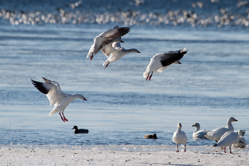 Snow Geese on the St. Lawrence