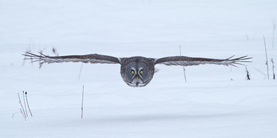 Great Grey Owls on Rockcliffe Parkway near Greens Creek
