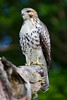Juvenile Red Tail 07-13-14-008ps
