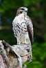 Juvenile Red Tail 07-13-14-003ps