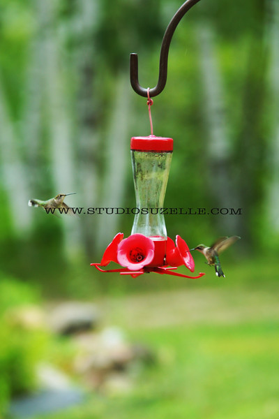 2015, 08-06 Hummingbirds100T