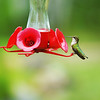 2015, 08-06 Hummingbirds120T