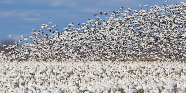 Snow Geese near Casselman ON   More photos -> http://www.4sale.jamiejohnson.ca/Nature/Birds/201511-Snow-Geese-Migration/