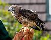 Broad-Wing Hawk