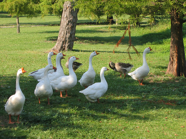 Domestic swan geese (Anser cygnoides) and domestic greylag geese (Anser anser) (208_0824)