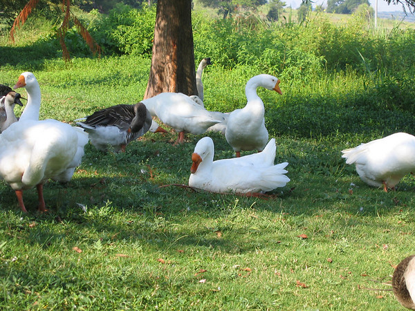 Domestic swan geese (Anser cygnoides) and domestic greylag geese (Anser anser) (208_0828)