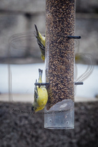 Two goldfinch. Trying LR4 Beta, with shots taken through a dirty window and screen.. The finch leave with the least provocation. I haven't been able to shoot them from the lower deck yet. They've got me house bound. 18Feb12