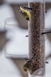 A goldfinch pair, with trapezoidal background. LR4 beta pp. 19Feb12
