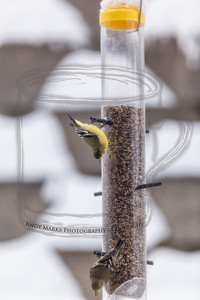 American Goldfinch (I think), through dining room window/screen, LR4 beta pp. (2nd export group). 19Feb12