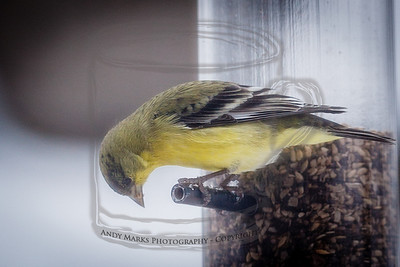 American Goldfinch, through the dining room window/screen 19Feb12. LR4 Beta pp.