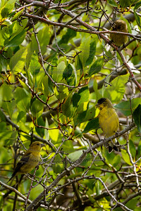Three American Goldfinch in the shrubs along dry creek.