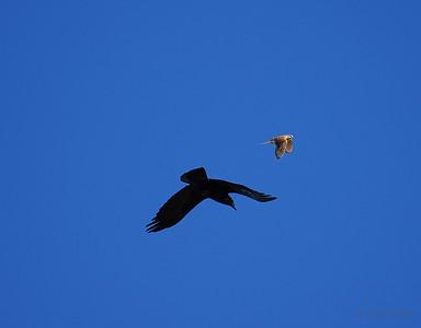 Raven and American Kestrel, Fairbanks