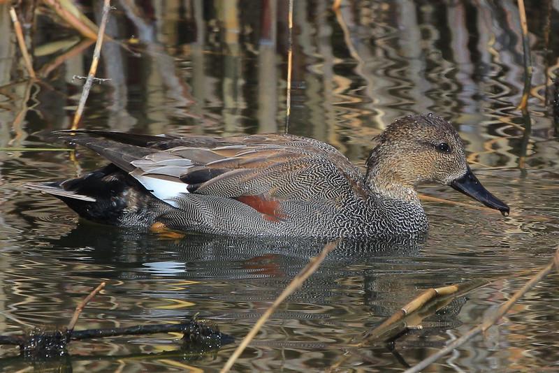 Gadwall duck.