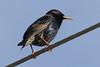 European Starling.