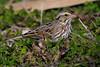 Savannah Sparrow.
