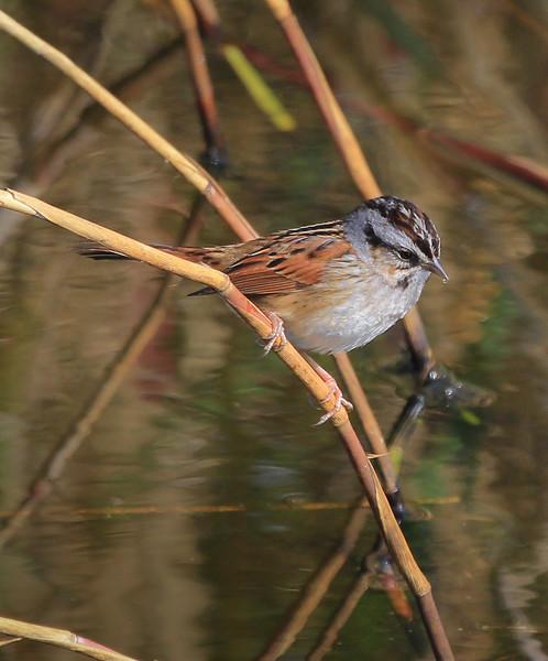 Swamp Sparrow.