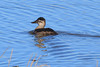 Ruddy duck.