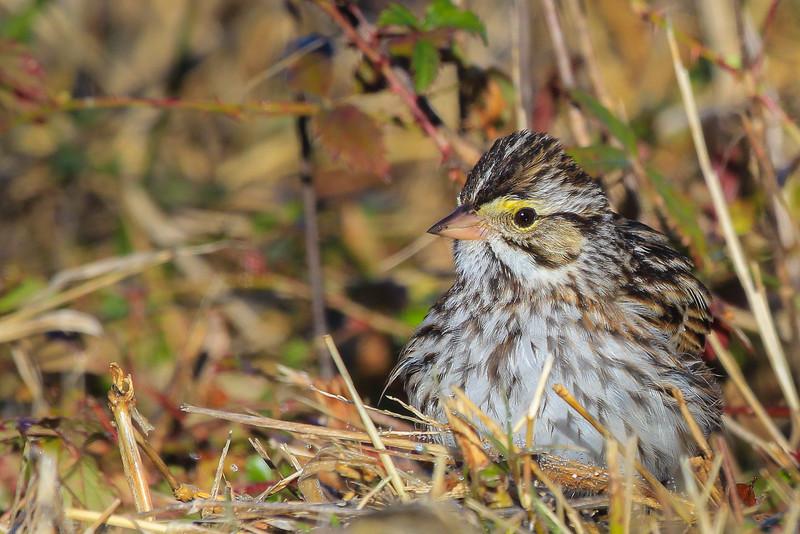 Savannah Sparrow from less than 15 feet.