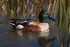 Northern Shoveler. FYI, there are no Southern Shovelers.