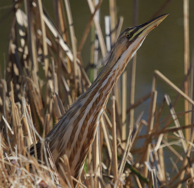 This is common behavior for a Bittern when it thinks it has been spotted, or just wants to take a good look at something.