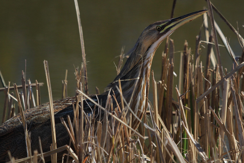 American Bittern from about 15 feet.