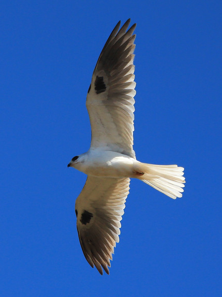 White-tailed Kite.